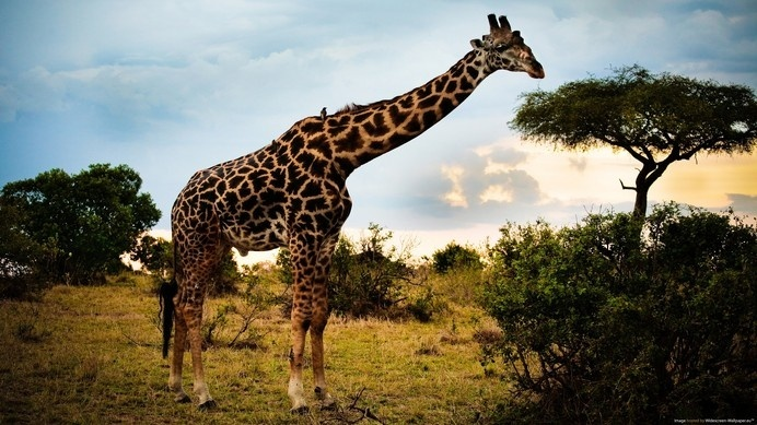 Wild Giraffe In Safari #inspiration #photography #animal