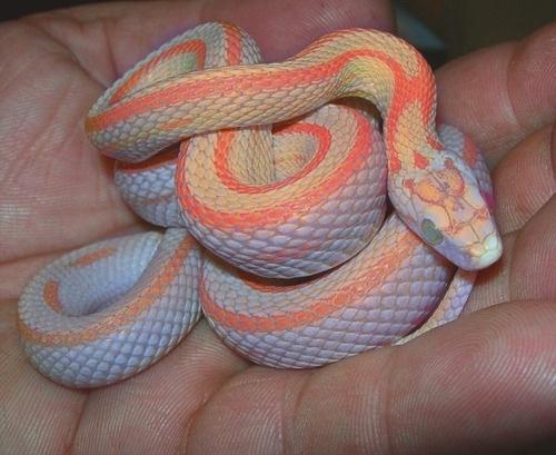 DeadFix » snake #snakes #orange #neon