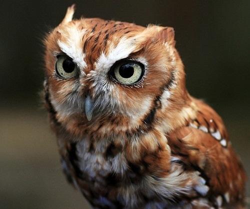 tumblr_l7fuffyea91qzrblzo1_500.jpg (500×418) #owl #bird