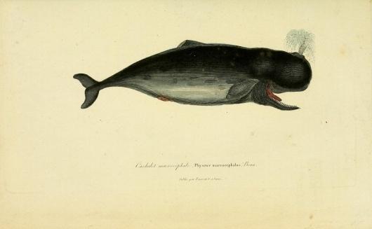 Complements-de-Buffon-Vol1-66.jpg 1877×1159 pixels #whale