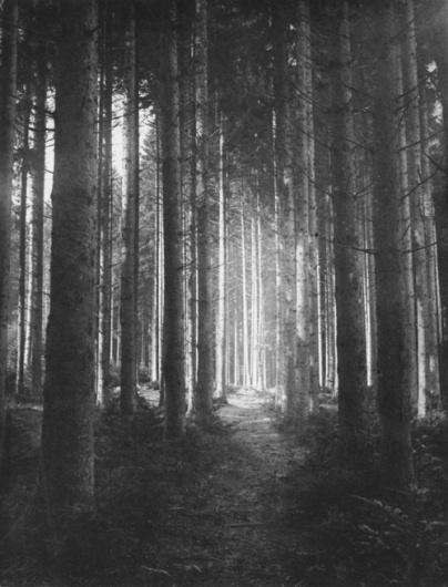 arborvitae #white #photo #woods #black #the #and