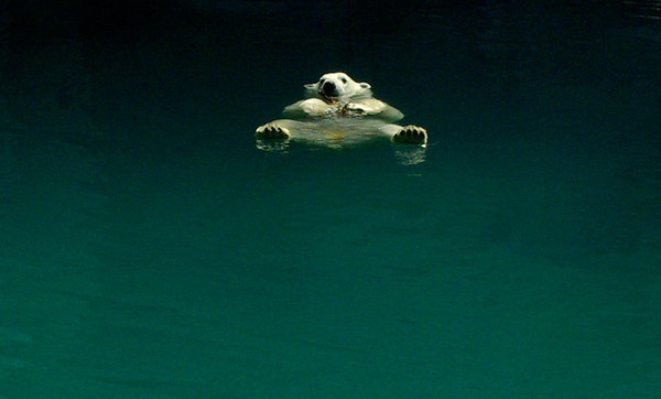 WILD THING: Randoms #polar #water #relax #floating #photography #bear #chill