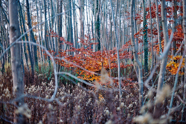 Autumn is coming. #analog #tree #france #gabel #orange #margot #autumn #grain #canonae1 #film #forest #trees #leaves