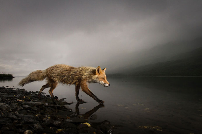 2014 National Geographic Photo Contest – photo by Jonathan Armstrong #fox #geographic #armstrong #photography #jonathan #national