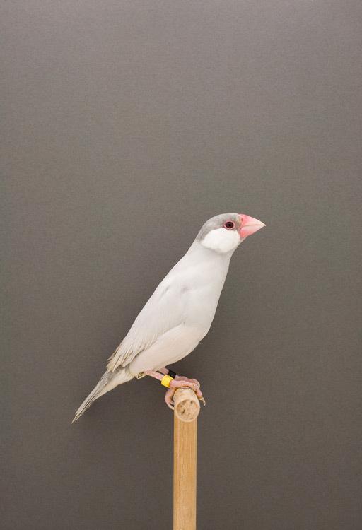 Java Sparrow #3