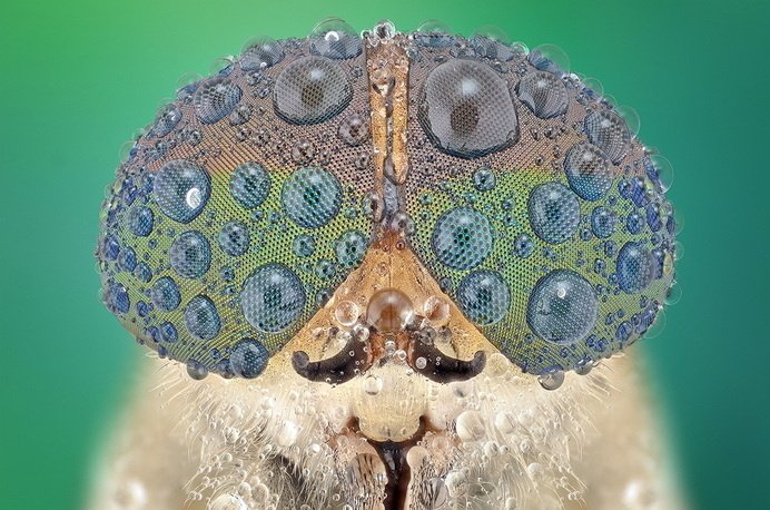 Macro photographs of insect eyes by Yudy Sauw Tittle: ~Robert Anton Wilson #amazing #water #droplets #close #insect #eye #photography #nature #up #zoom #macro #beauty