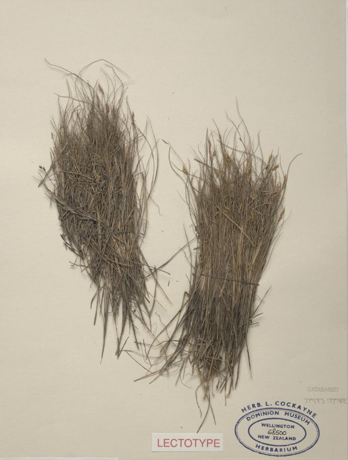 """gilgai: """"Doab grass, Zoysia pauciflora Mez, collected Dec 1903, Opotiki, New Zealand. Te Papa (SP068500) """""""