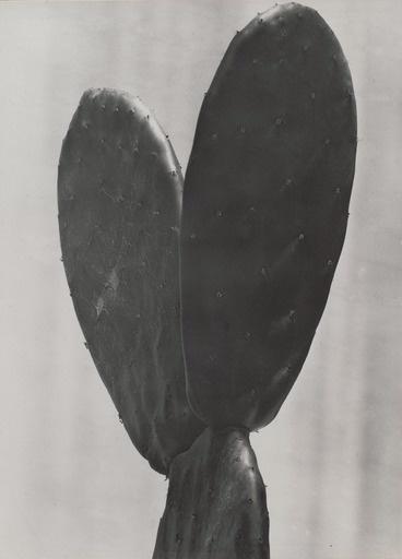 Cactus, Tina Modotti #photography #cactus