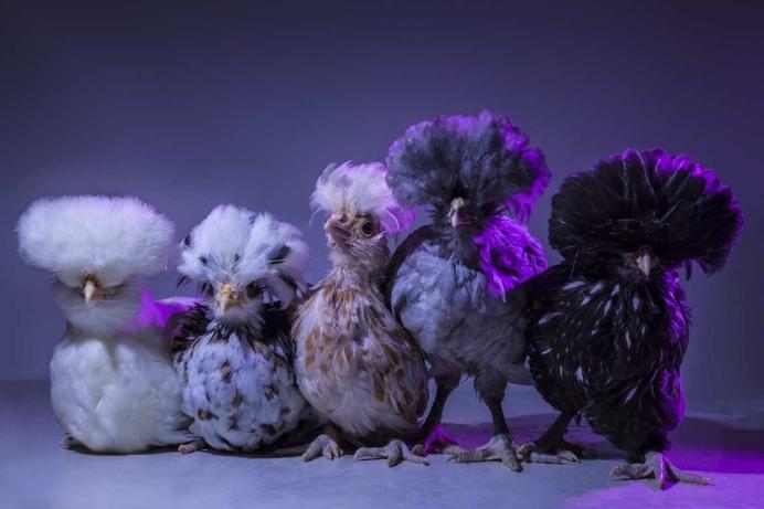 Chic Chicks Project by Dan Bannino