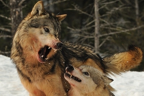 Mylo Xyloto (stahppppppppppp) #blood #wild #teeth #wolves #snarl #fight #wolf #animals #growl