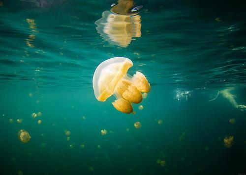 Jellyfish Lake #jellyfish #photography