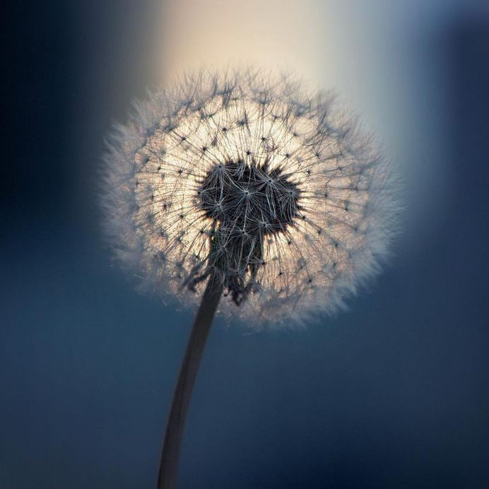 Wonderful Dandelion flower by AN
