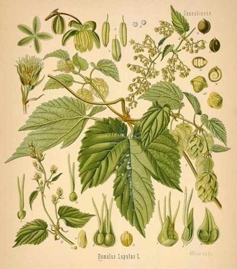 hops--32-l.jpg (529×600) #humulus #lupulus #hops