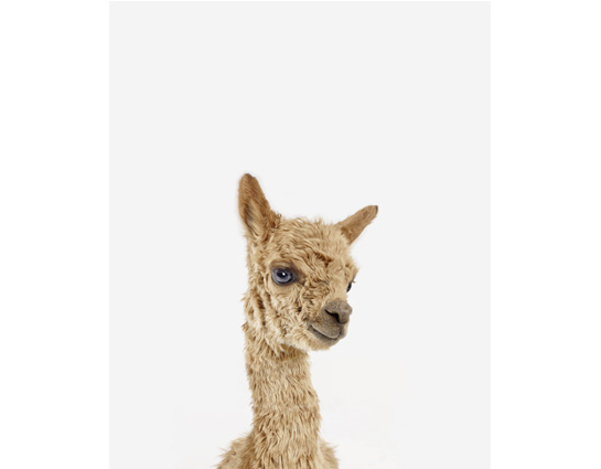 Baby Alpaca Little Darling #alpaca #photo #animal #baby