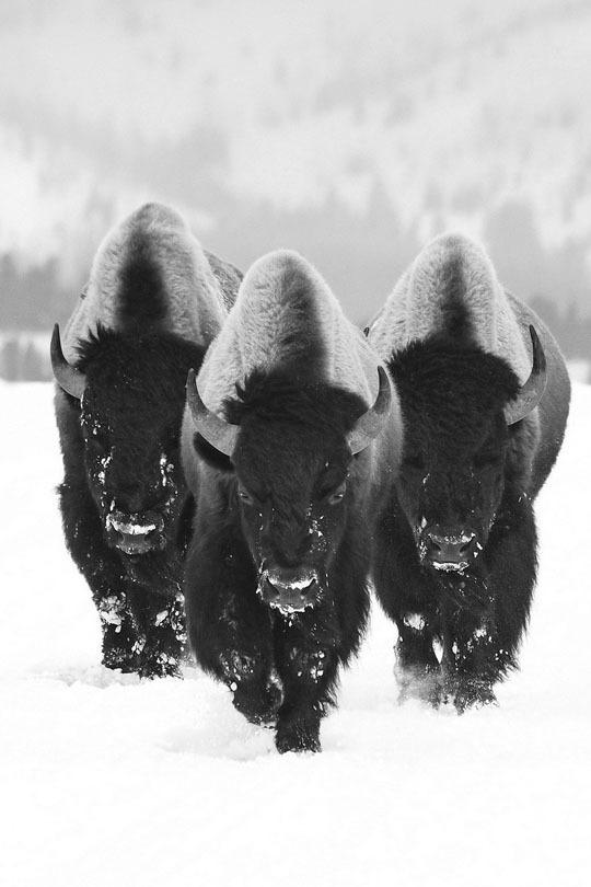 20130213 Flickstop #buffalo #white #black