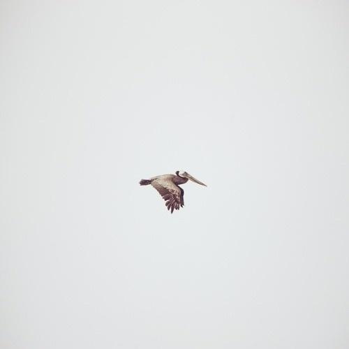 I'm Not Wordy™ #flight #pelican #bird #flying #photography #animal