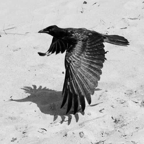 Midnight Marauders #photography #bird