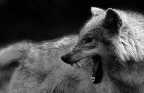 (1) Tumblr #photo #angry #animal #wolf