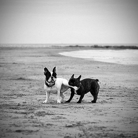 tumblr_l4mw4y5IDc1qa1zngo1_500.jpg (480×480) #bulldog #french