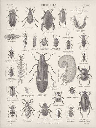 1882 Coleoptera Beetles Cockchafer Water Beetles Glowworms Engravings : Pictorial Gems! #beatles #coleopter #white #insects #black #and