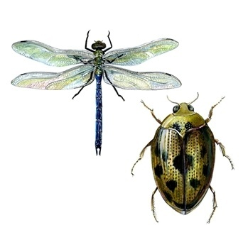 freelance-illustrator.jpg (JPEG Image, 342x317 pixels) #dragonfly #insects #illustration