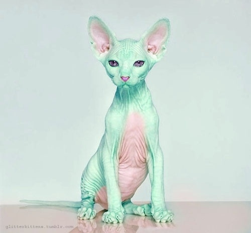 DeadFix » Want one of these #hairless #crested #cat #mint #chinese