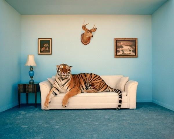 tumblr_ltw439fjnv1qce0too1_1280.png (997×801) #sofa #tiger