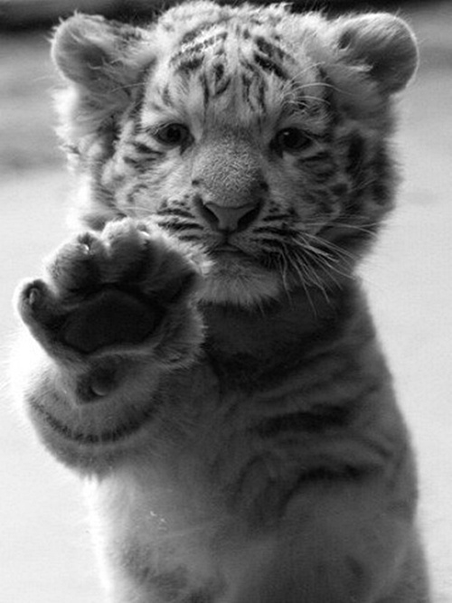 Tiger Cub Paw - fall down seven stand up eight:(via imgTumble) #paw #cub #white #cat #black #photography #and #cute #tiger #animal #beauty