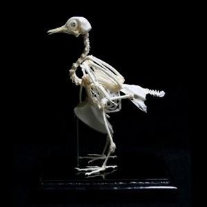 The common pigeon makes a great bird study specimen #specimen