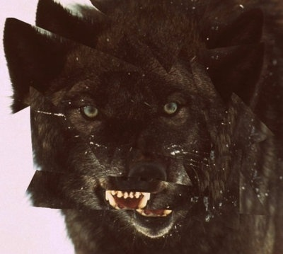 East Coast Bred #growl #wolf #black #broken